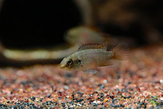 Pelvicachromis subocellatus / Moanda