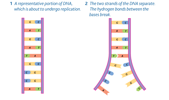 semi conservative replication of dna Model a: dna is a double-stranded helix with sugar-phosphate backbones in the   semi-conservative replication was only one of the models of dna replication.