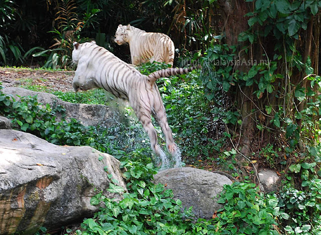 Photo of White Tiger Jumping