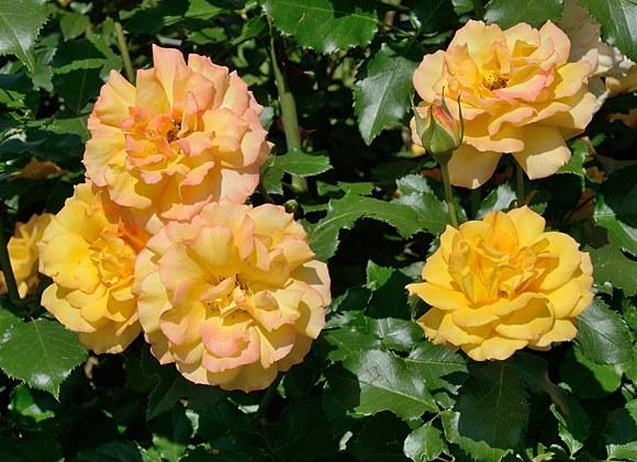 Sahara сорт розы фото купить саженцы Минск питомник