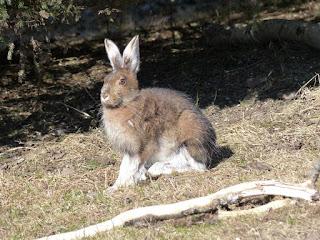 Lièvre d'Amérique - Lièvre variable - Lièvre à raquettes - Lepus americanus