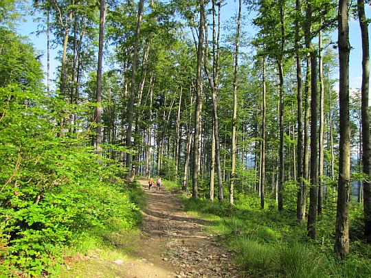 Bukowy las na Cuplu.