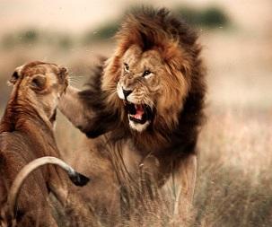 Vahşi Hayvan Kavgaları İzle