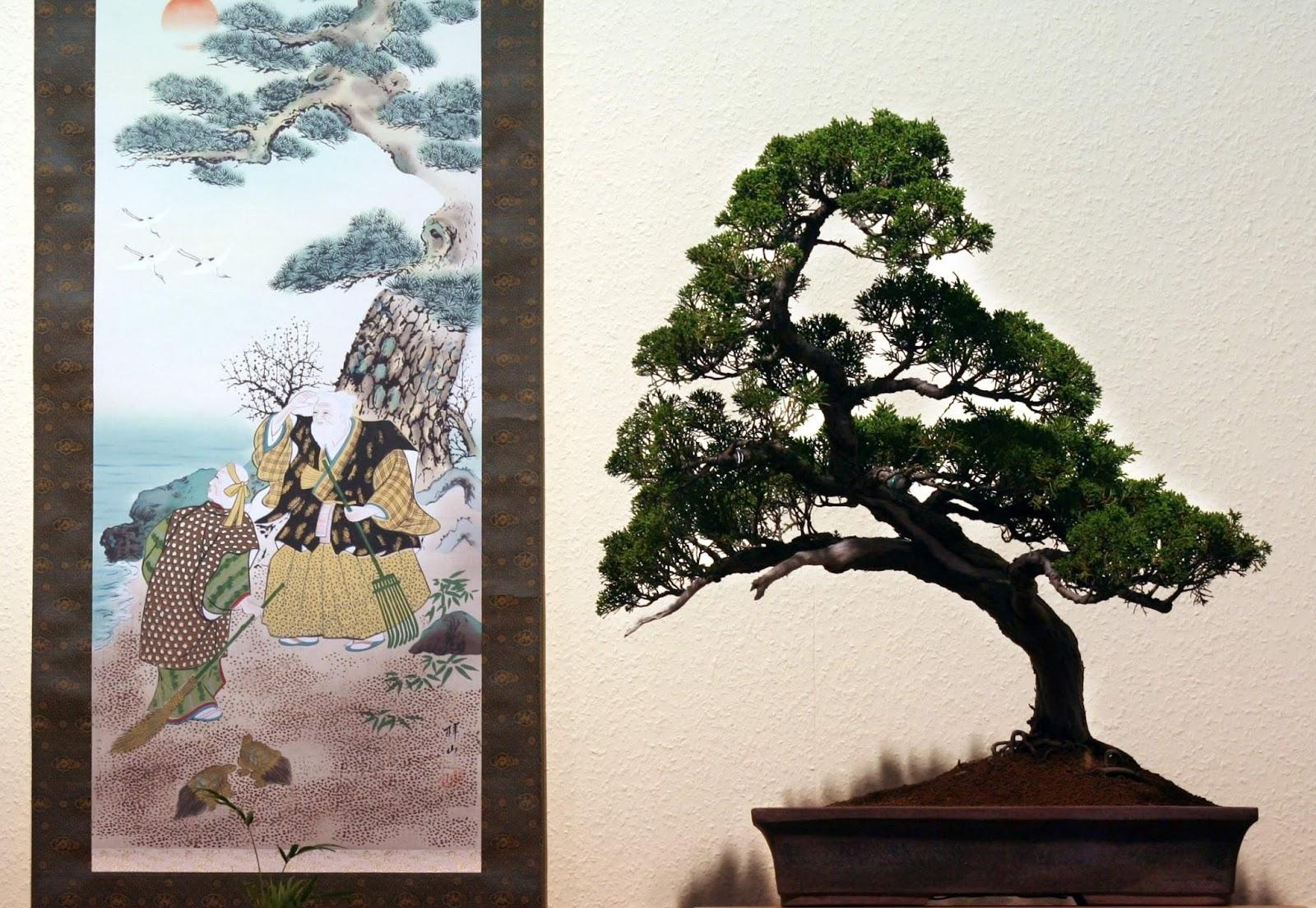 entwicklung eines chinesischen wacholders juniperus chinensis 39 shimpaku 39. Black Bedroom Furniture Sets. Home Design Ideas