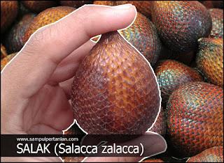 Salak atau Salacca zalacca (Mengenal manfaat dan kandungannya)