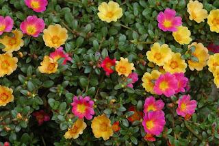 Beldroega (Portulaca oleracea L.) Ela apresenta tamanho semelhante e as mesmas cores da onze-horas; rosa, amarelo, vermelho e branco. No entanto, as folhas são bem diferentes, enquanto a onze-horas tem folhas finas como palitos, a beldroega tem folhas largas.