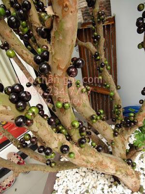 nho thân gỗ 8 năm tuổi đã ra trái dáng đẹp