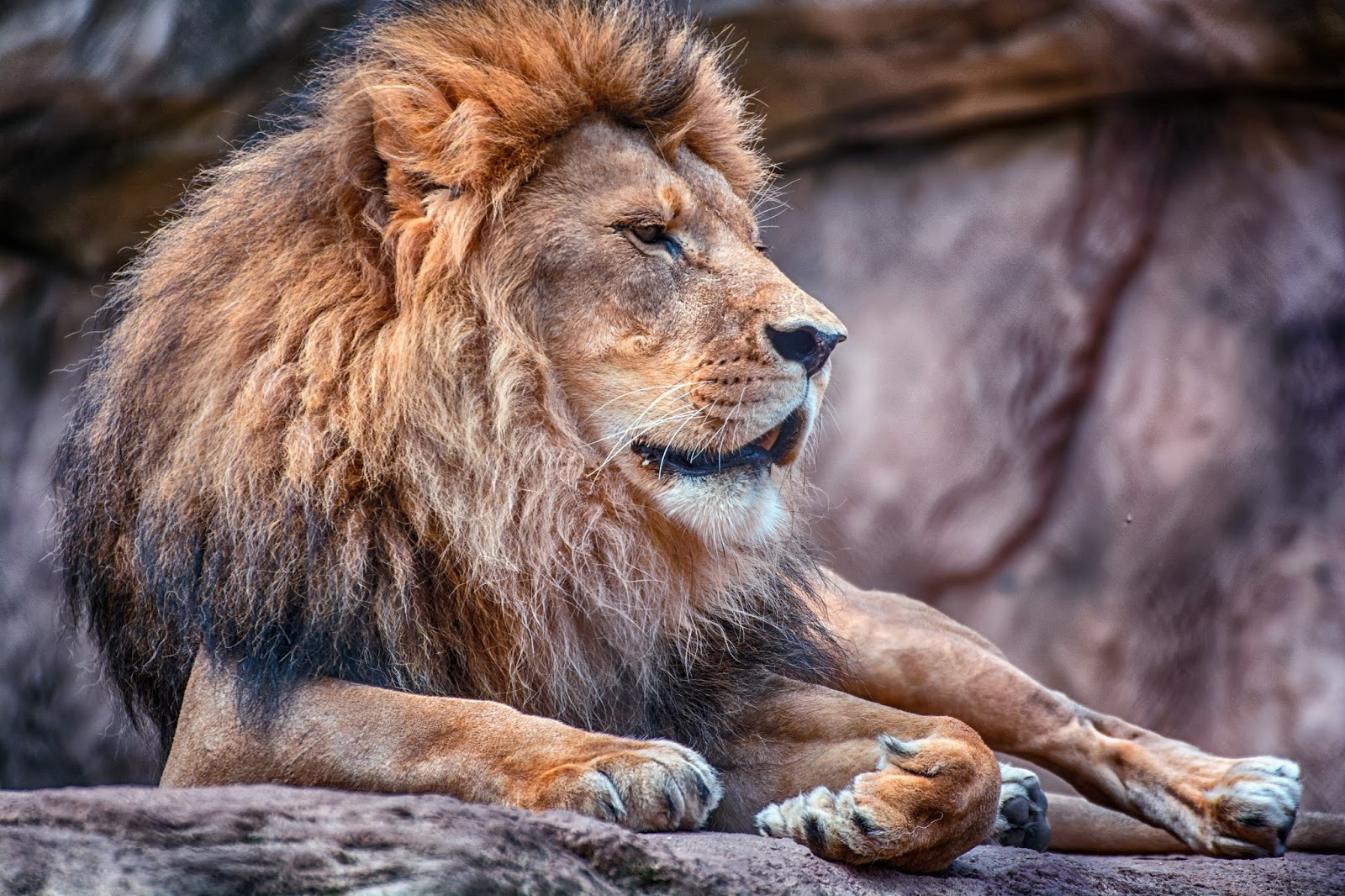 Picture of a male lion.