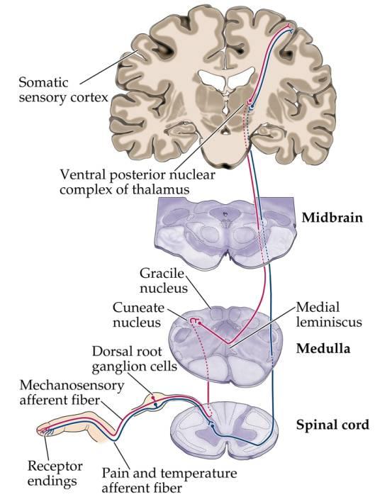 Intro to Neuroscience Psych 533 Va Sensory Systems Somatosensory - spinothalamic tract