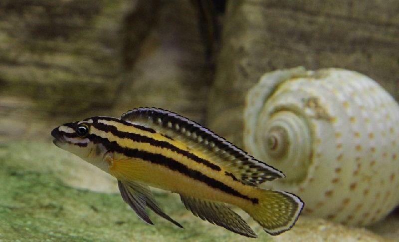 Gambar 9 Jenis Ikan Cichlid Afrika Dari Danau Tanganyika-Convict Julie ( Julidochromis regani )