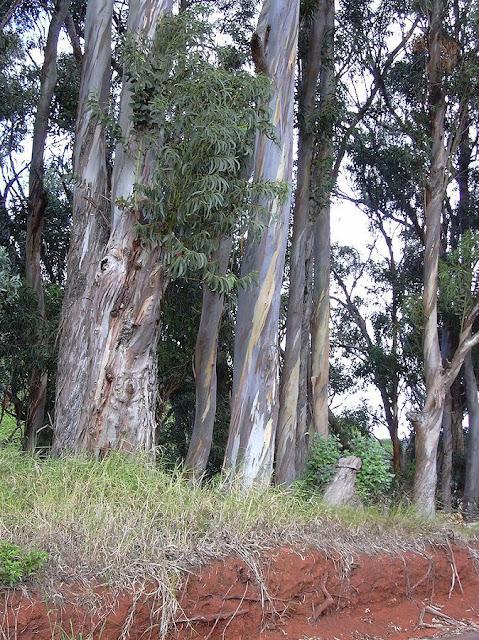 Cây BẠCH ĐÀN VÀ TINH DẦU BẠCH ĐÀN - Eucalyptus globulus - Nguyên liệu làm thuốc Chữa Ho Hen