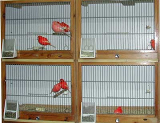 Beternak Burung Kenari