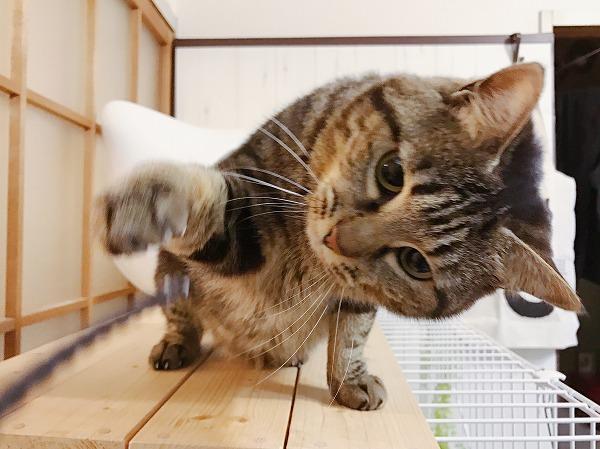 おもちゃに猫パンチするキジトラ猫