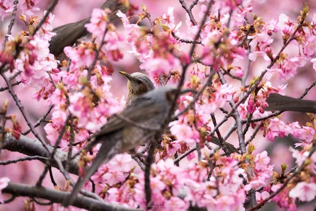 桜 鳥 河津桜