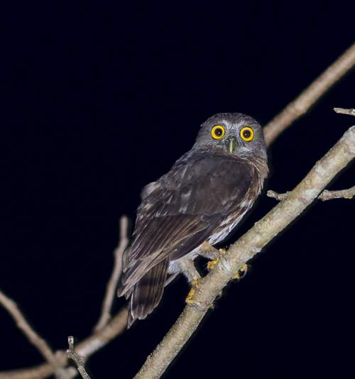Birds of India - Photo of Andaman hawk-owl - Ninox affinis