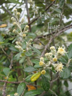 Brachylaena flowers August 2011 in Porterville