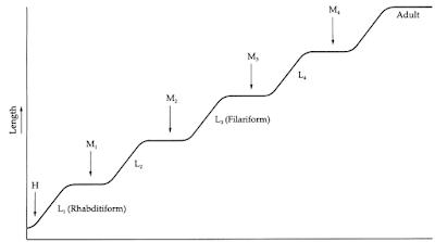 Anatomi dan Morfologi Nematoda, Kutikula nematoda, Hipodermis nematoda, otot nematoda, Sistem Pencernan Nematoda, Sistem Syaraf Nematoda, Sistem Ekskresi Nematoda, Sistem Reproduksi, Sistem reproduksi jantan pada nematoda, Sistem reproduksi betina pada nematoda, Molting nematoda, Larva nematoda, Larva Rhabditiform, Larva Filariform, Microfilaria, Fisiologi Nematoda