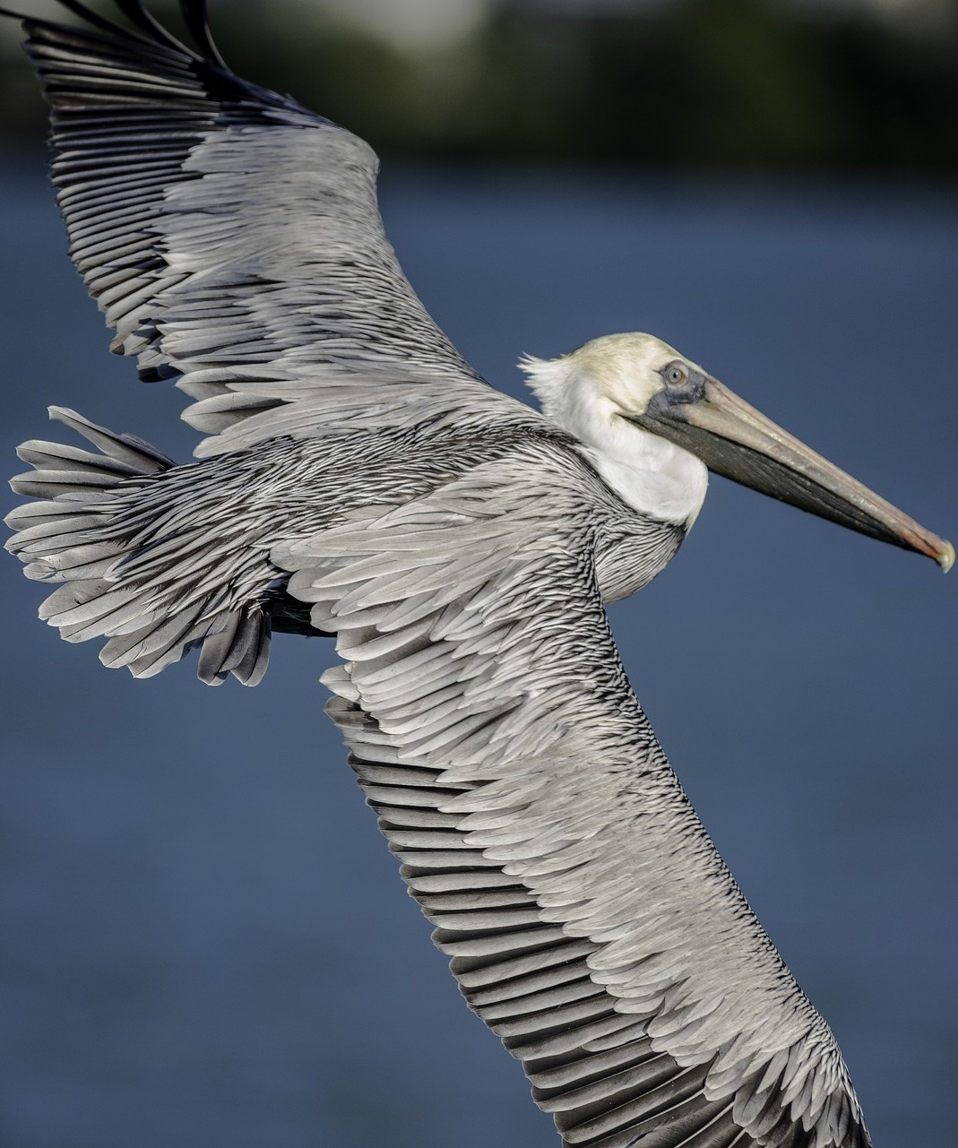 Amazing photo of a pelican in flight.