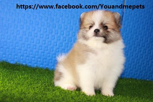 Sold Out Parti Color Pomeranian