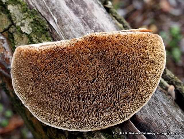 daleopsis confragosa, gmatkowiec, gmatwek, krosniak, siatkowiec, grzyby gatunkami, atlas grzybow, las, grzybobranie, grzyby nadrzewne, nadrzewniaki, huba