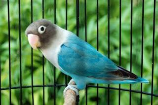 Jenis - Jenis Burung Lovebird Biola Beserta Harga (Update Terbaru)