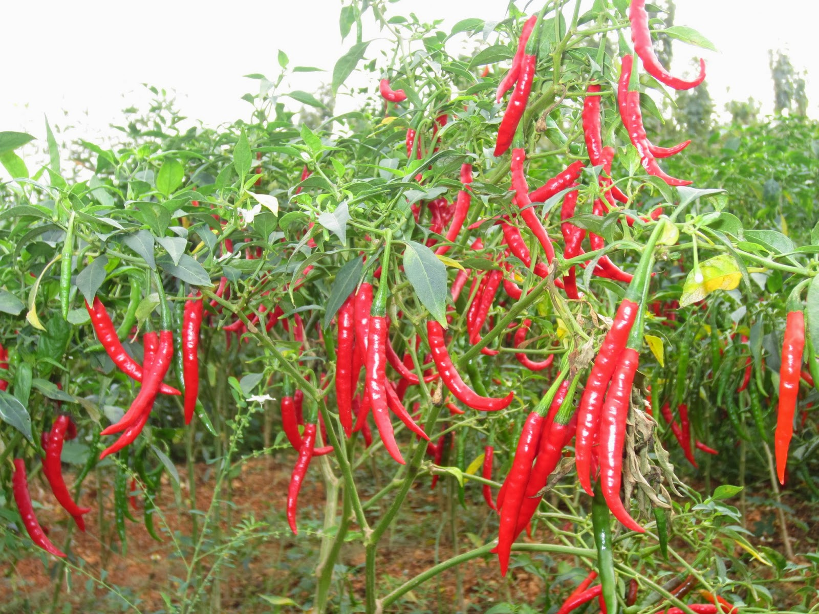 Thika farmer minting millions from chilli farming  | Thika