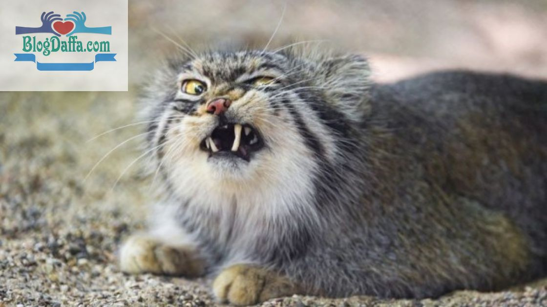 Kucing Pallas