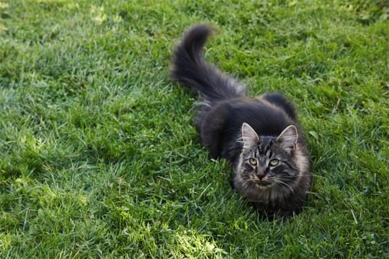 Kissan kesyyntymishistoria on erilainen kuin koiralla.