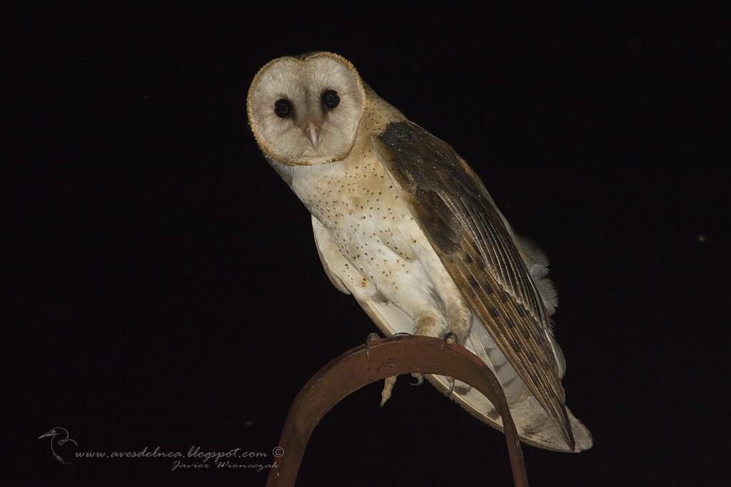 Lechuza de campanario (Barn owl) Tyto alba
