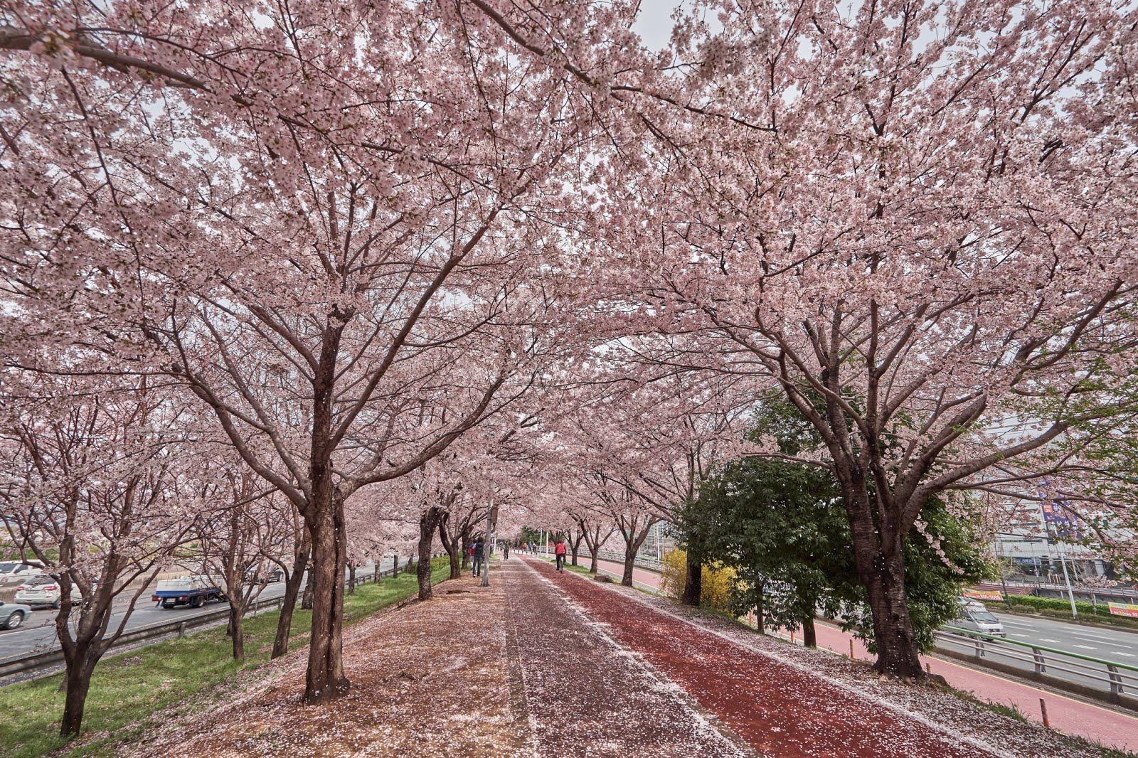 Di Korea Selatan Juga Ada Sakura Ini 6 Lokasi Yang Harus