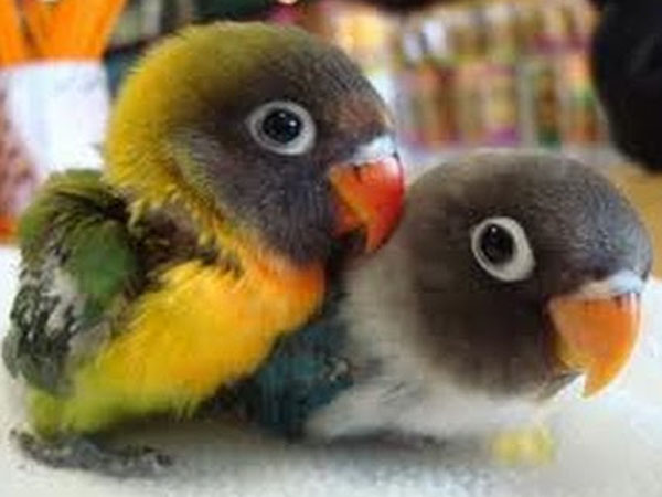 Daftar Harga Burung Lovebird Terbaru 2018