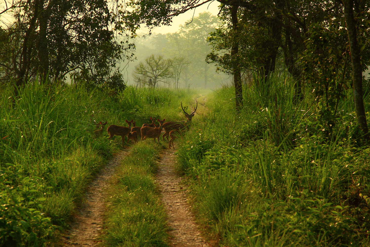Deer at Chitwan National Park, Nepal