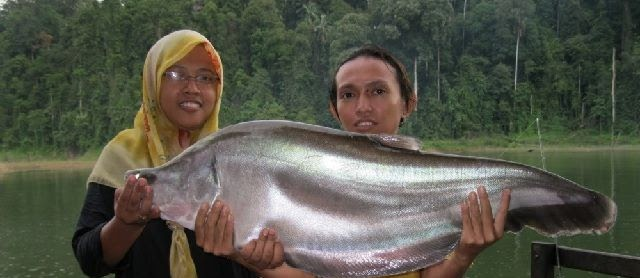 Budidaya Ikan Belida Hitam Bangkok dengan Pakan Alami