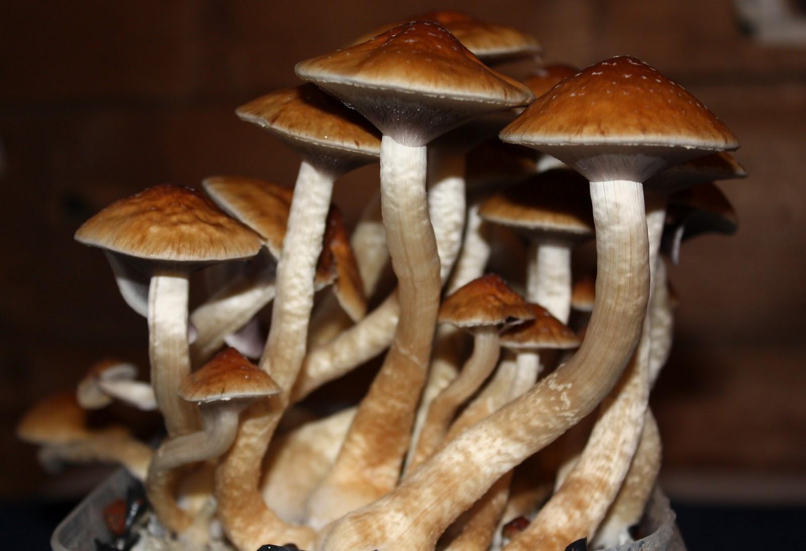Legion of Shroom: Psilocybe cubensis