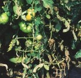 gartensaison ist immer gartentipps von eva schumann kann man tomatenfr chte mit braunf ule essen. Black Bedroom Furniture Sets. Home Design Ideas