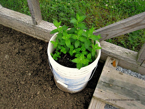 Plant mint in a bucket and then plant the bucket from Walking on Sunshine.