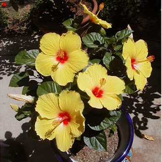 Gambar Bunga Alamanda yang Indah 2