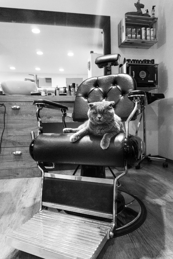 barber shop cat