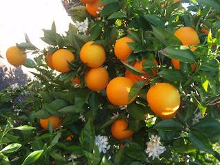 Naranjas que caían al corral de mi casa de una casa vecina fd76ecbc54ae9