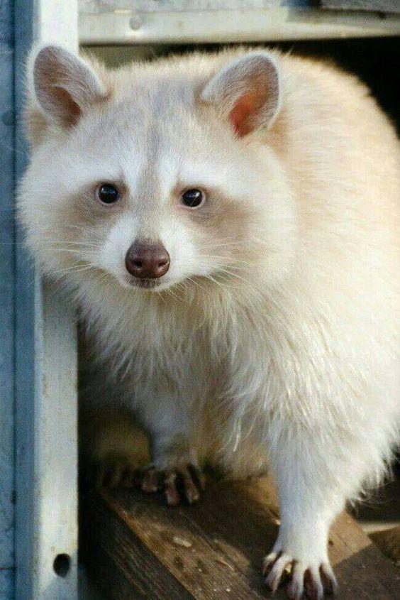 Raccoon | A-Z List of 125 Rare Albino Animals [Pics]