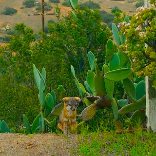 Island Fox on Santa Catalina Island