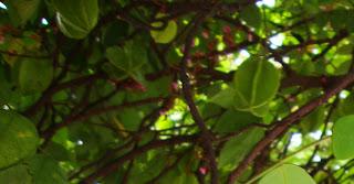 gambar atau foto Tanaman Belimbing (Averrhoa Carambola L)