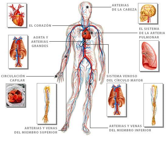 Arterias definicion y de venas corazon