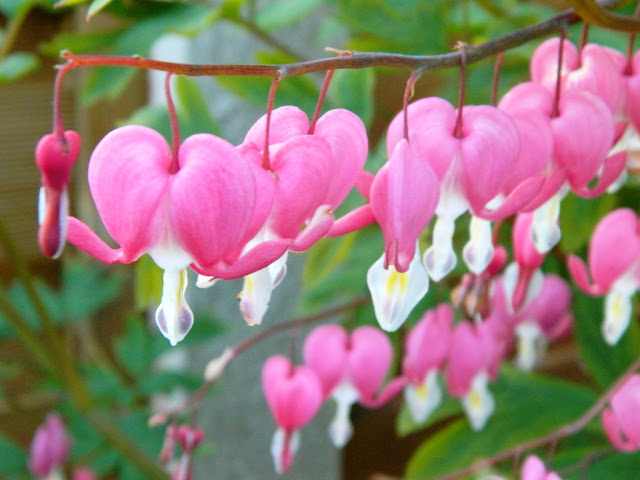 Bleeding Heart Flowers,