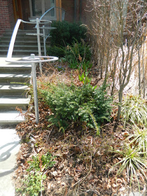 Summerhill Toronto spring front yard garden clean up before by Paul Jung Gardening Services