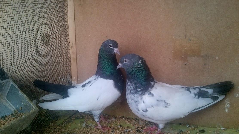 pigeons pakistan  bankay pigeons