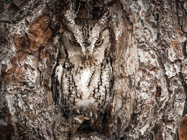 coruja-casca-de-árvore