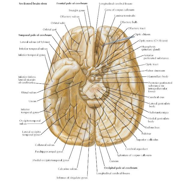 Brain: Inferior View Anatomy