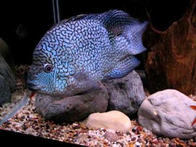 Herichthys Carpintis 20cm