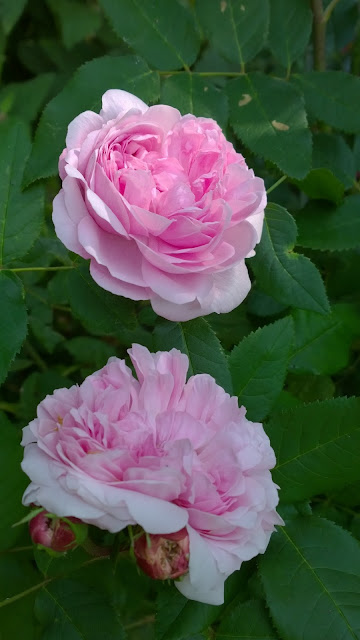 "Damaszener Rose ""Jacques Cartier"" (c) by Joachim Wenk"